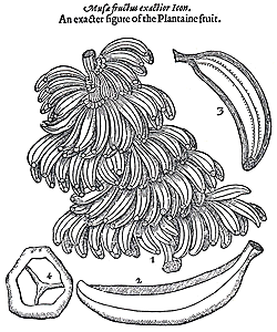 From Johnson's 1633 edition of Gerard's Herball