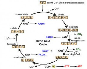 Figure 2 The citric acid or tricarboxylic acid (TCA) cycle.