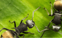 The little things that run the world: exploring the role of ants, termites and dung beetles in tropical rainforest.